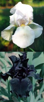 New Snow and Hello Darkness iris varieties